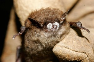 A little brown bat; with WNS. Photo courtesy Ryan von Linden/New York Department of Environmental Conservation
