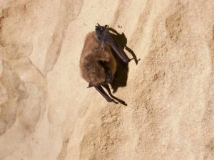 A healthy-looking big brown bat hibernating just a few feet away from groups of WNS-affected little brown bats. Photo courtesy of the U.S. Fish & Wildlife Service