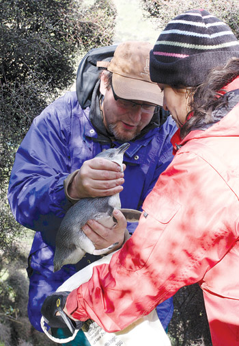 J. Alan Clark, Ph.D., left, weighs a little blue penguin with the assistance of Sandra Valderrama, a doctoral student at the University of Waikato in New Zealand. Photo courtesy J. Alan Clark