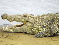The Nile crocodile has been discovered to encompass two different species.