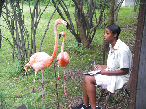 While some researchers use mirrors or fake garden flamingos to help boost breeding cues among captive flamingos, Fordham CSUR student Jamelia Frink plays the Bronx Zoo's American Flamingos mating calls from her iPod. Photo by J. Alan Clark, Ph.D.