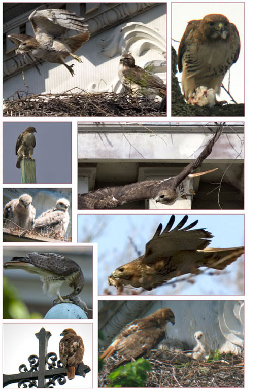 hawks-2