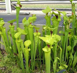 Pitcher plant Sarracenia flava at Kew Gardens, London, England Photo by Adrian Pingstone