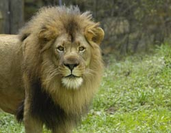 M'wasi the lion on Lion Island at the Bronx Zoo Photo by Julie Larsen Maher/WCS