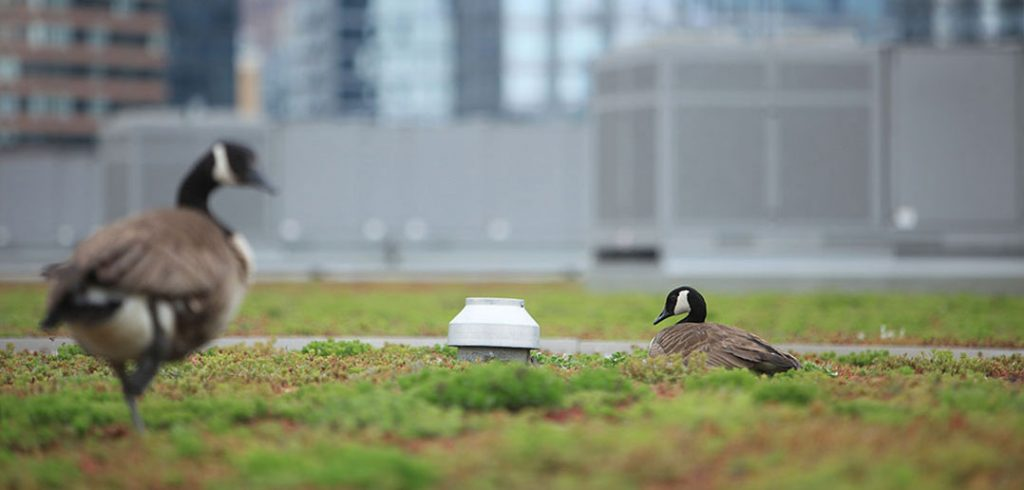 A Canadian goose keeps the nest warm as another stands guard.  (Photos by Tom Stoelker)