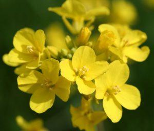 MustardPlant