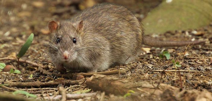 New Research Reveals Migration Patterns of Brown Rats