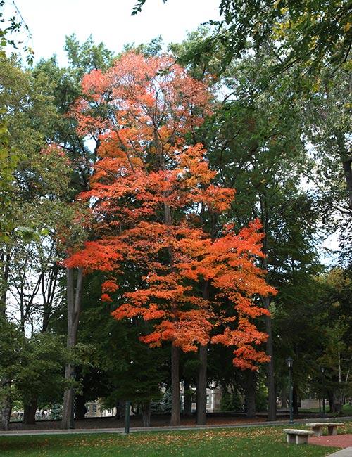 Sugar Maple on Fordham campusa
