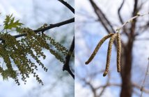 Oak and birch catkins