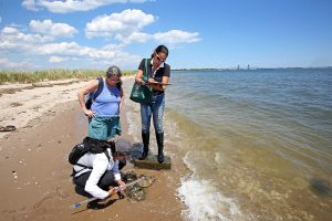 Christina Colon and two other volunteers use calipers to measure the size of horseshoe crabs.