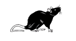 Illustration of a rat by Louise Zergaeng Pomeroy