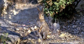 a European rabbit
