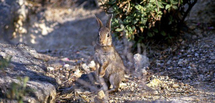 a European rabbit