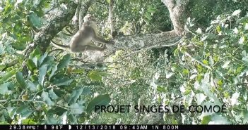 A white naped mangabey standing in a tree