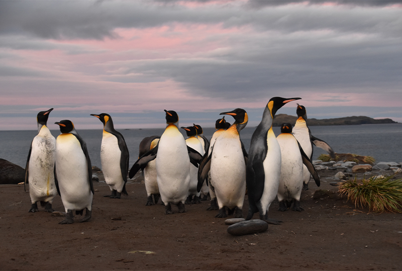 King Penguins from the Salisbury Plain king penguin colony, South Georgia