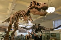 A Fordham tour group looks at the T-Rex skeleton at the American Museum of Natural History.
