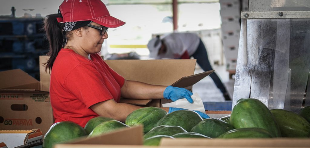 Papaya Farm Employee packs the fruit