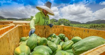 Papayas at farm