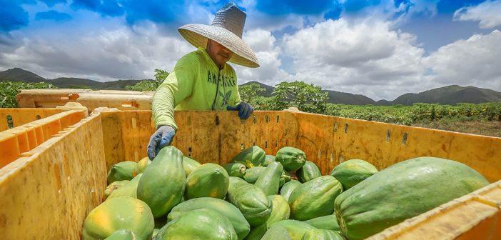 Papayas at farm