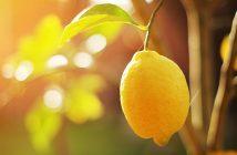 A ripe lemon hands on a tree branch in sunshine