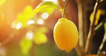 A ripe lemon hands on a tree branch in sunshine