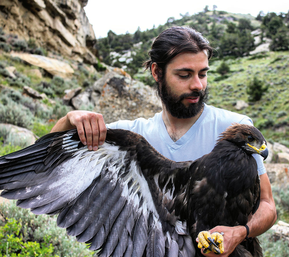 Corey Anco secures the tarsi of a fledgling golden eagle, an apex predator in Wyoming's Bighorn Basin.