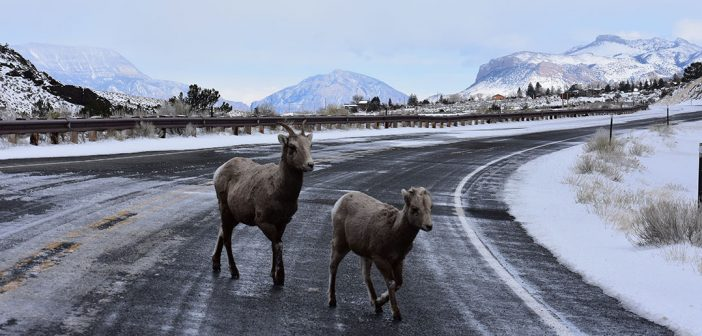 Two bighorn sheep, a lamb and ewe, trot across US Highway 14-16-20 leading from Cody, Wyoming, to Yellowstone National Park.